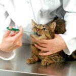 Стоматит у кошек - лечение, виды и симптомы стоматита, профилактика